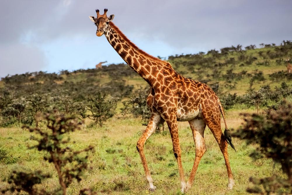 загадка о жирафе