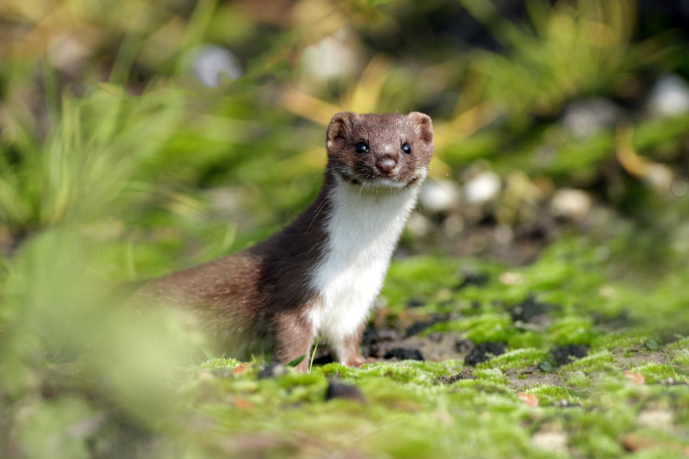 weasel riddle