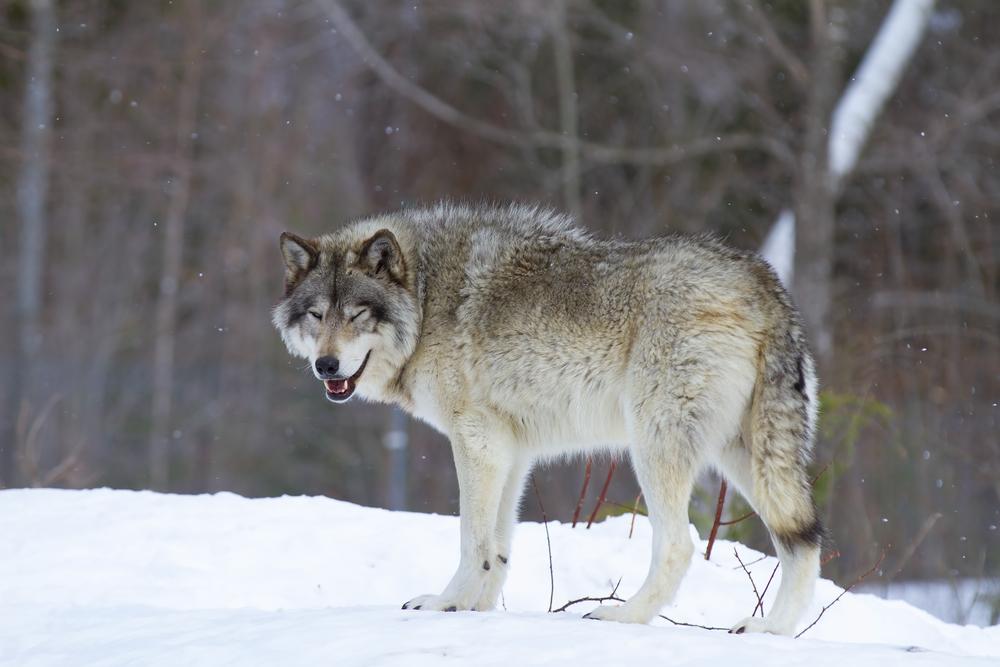 одинокий серый волк