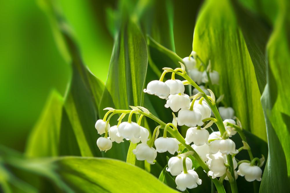 цветущая лилия в весеннем саду