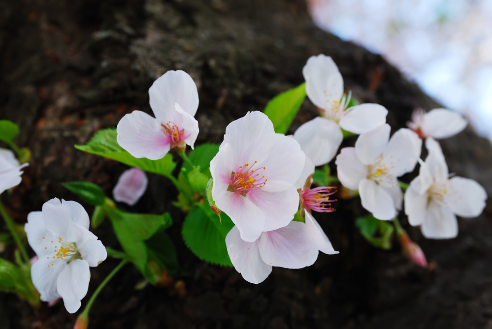 цветет вишня в мае