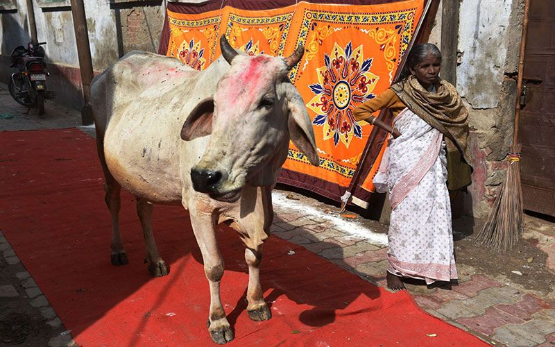 Коровы на улицах Индии